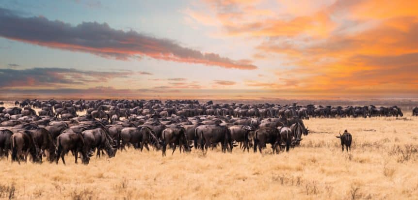 Serengeti Wildebeests' Migration